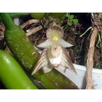 洋蘭苗 Bulb.ambrosia  バルボフィラム属.アンブロシア