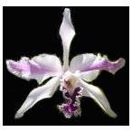 洋蘭苗 L.crispax sib. レリア、クリスパ x シブリング