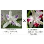 洋蘭苗 C.intermedia aquinii X  sib カトレア属インターメディア アクイニー x シブリング