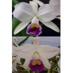 洋蘭苗 trianeae coerulea X  sib  カトレア属トリアーネ セルレア x シブリング