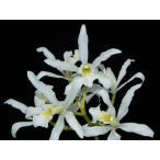 洋蘭苗 L.superbiens var. alba レリア属スーパービーンズ バー アルバ