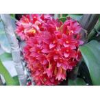 洋蘭苗 Den. usitae (Red Coral x Tien) デンドロビューム、ウシタエ