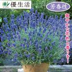 北海道のラベンダー 大株苗 1ポット