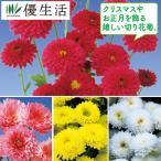 寒菊 お正月八重 4種8株