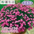 四季咲き芳香なでしこ かほり3株
