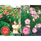 タイタンビカス 赤桃花系 2種2株