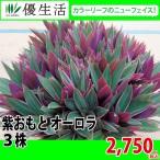 紫おもと オーロラ 3株