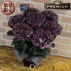 母の日 花 ギフト アジサイ 塩原さんの希少オリジナルプレミアム 紫陽花 クイーンズブラック 5号鉢 オシャレなブリキの鉢カバー入り