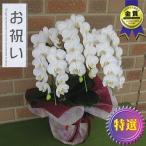 開店祝いや誕生日プレゼント等のお祝いのプレゼントに日持ち抜群のミニ胡蝶蘭の鉢植え・アマビリス3本立ち