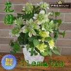 母の日 2021 花 ギフト クレマチス プレゼント 鉢植え オリジナル 希少 プレミアム はなぞの 八重咲き 5号鉢 鉢カバー入り
