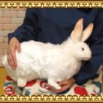 Yahoo!雑貨の森 Ki・Ra・Ra Yahoo!店大きくてリアルなウサギのぬいぐるみ 雪うさぎ 特大サイズ アニマル雑貨・置物・可愛い動物グッズ