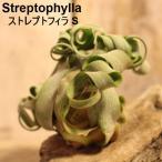 エアプランツ ストレプトフィラ 銀葉種 エアープランツ 4~6cm StreptophyllaS