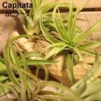エアプランツ 土を必要としない植物