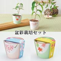 日本ならではの季節感が味わえる桜と紅葉の栽培セット。 大事に育ててあなただけの小さな季節感を感じてみ...