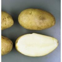 メークイン(馬鈴薯)春作ジャガイモ種芋 1kg