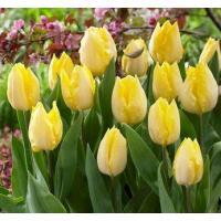 チューリップ球根 品種:サニープリンス 花色:黄色 球周:12cm 系統:シングルアーリー(SE) ...