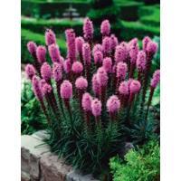 商品名:リアトリス スピカータ  花色:紫色 花径:8/10cm 入数:10球入り  科名:キク科 ...