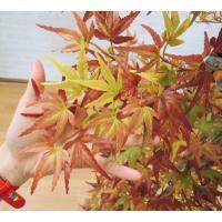 秋色の紅葉 (人工 観葉植物 インテリア 造花 オータム モミジ 180cm)