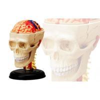 頭 解剖モデル 4D VISION 人体解剖モデル No.4 #立体パズル