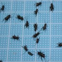 送料¥300 えさ用フタホシコオロギ SSサイズ 100匹(トカゲ、ヤモリ、カエルの生餌)