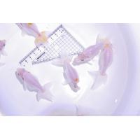 出雲、松江地方の特産金魚。らんちゅうの原種「マルコ」の面影を色濃く残す品種で、頭は尖って、腹を大きく...