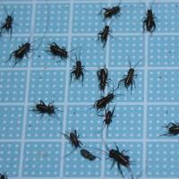 エサ用フタホシコオロギ SSサイズ 100匹 (トカゲ ヤモリ カエル 生餌 )