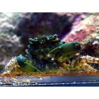 (コケ取り)エメラルドグリーンクラブ 3匹|aquatailors