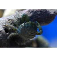 (コケ取り)エメラルドグリーンクラブ 3匹|aquatailors|03