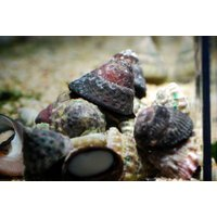 (コケ取り)シッタカ貝 10匹セット|aquatailors