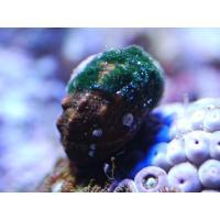 (コケ取り)スーパーシッタカガイ 5匹セット|aquatailors|02