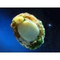 (コケ取り)スーパーシッタカガイ 5匹セット|aquatailors|03