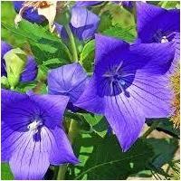 秋の七草のひとつ、桔梗です。紫の花が愛らしくて綺麗です。家紋などにも用いられています。明智光秀の家紋...