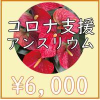 【5500円】湖東フラワーのアンスリウム「愛んすりうむ」 コロナ支援 6号×2鉢 or 8号×1鉢