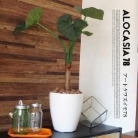 くわず芋78(alocasia odora) イミテーショングリーン