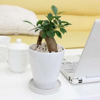 観葉植物 幸せを見守る樹 ガジュマル 5号 ホワイト陶器鉢 丸ロング 送料無料