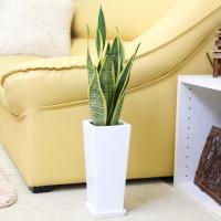 観葉植物 空気を浄化するといわれているサンスベリアのホワイト陶器鉢 5号「ストレート」+陶器製 鉢皿付き 送料無料