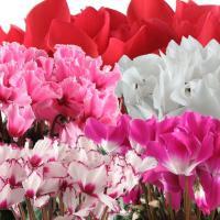 シクラメンは、年末を飾る冬の鉢物として最も親しまれています♪シクラメンの花言葉は『はにかみ』『思いや...