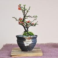 ミニ長寿梅 藤久作手造り小鉢