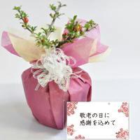 縁起のよい長寿梅の盆栽です。小さいサイズですが、しっかりと赤い花を咲かせます。9月になり涼しくなって...
