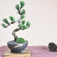 松の本場四国の五葉松です。職人によって作られた樹齢6年程度のミニ五葉松です。信楽焼の落ち着いた雰囲気...