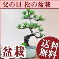 盆栽といえば五葉松。人気の五葉松を父の日のギフトに。  樹齢4年の小ぶりで若い木ですが、しっかりと大...