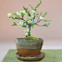 父の日はちょっと小粋な花盆栽ギフトで。 きれいな信楽鉢に白い花さく長寿梅が引き立つ一品です。 贈り物...