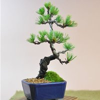 ■初めて盆栽をされる方におすすめの五葉松ミニ盆栽です。(樹高15センチ幅15センチ程度)  ☆説明書...