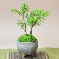 マツ科モミ属の常緑針葉高木で分布は、北海道に限られ、また、南千島、樺太など。漢字では椴松と書きます。...