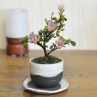 母の日にお花のプレゼント。 スイレンのような上品な花を咲かせる睡蓮木のミニ盆栽です。春頃から秋にかけ...