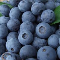 生のブルーベリーを食べれるのは1年で今の時期だけ!早朝の涼しい時間に、完熟になったブルーベリーを一つ...