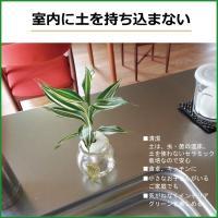 セラハイトご神木ナギの木とカラフル容器 2セット 合格祈願・勉強運アップ