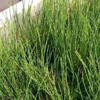 (ビオトープ)水辺植物 ヒメトクサ(1ポット) 湿生植物