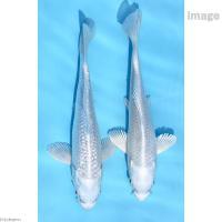 (錦鯉)プラチナ錦鯉 ニシキゴイ 8~13cm(1匹)