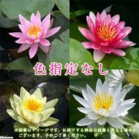 花の色は指定できませんが、お買得価格となっております。花の色は蕾をつけてからのお楽しみです。お届けす...